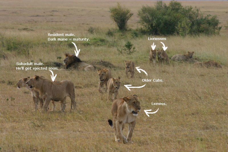 Labeled picture of a lion pride.