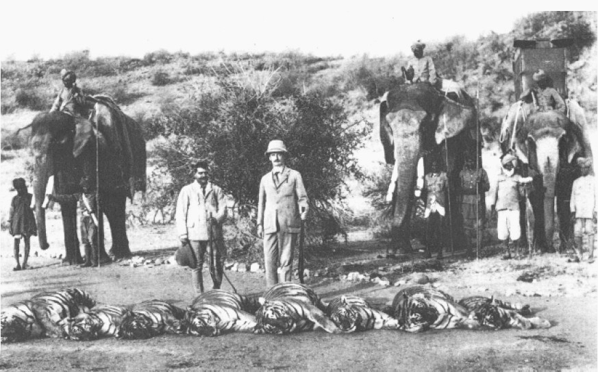 a stack of dead tigers after a hunt