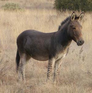 a zebrass in tall grass. zebra-like leg stripes, upright mane, roundish ears, but a shaggy gray body coat.