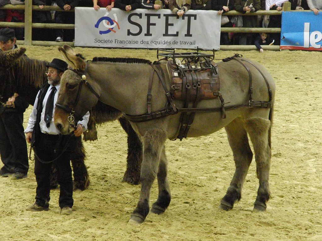 a Poitou mule wearing a pack harness at a show.