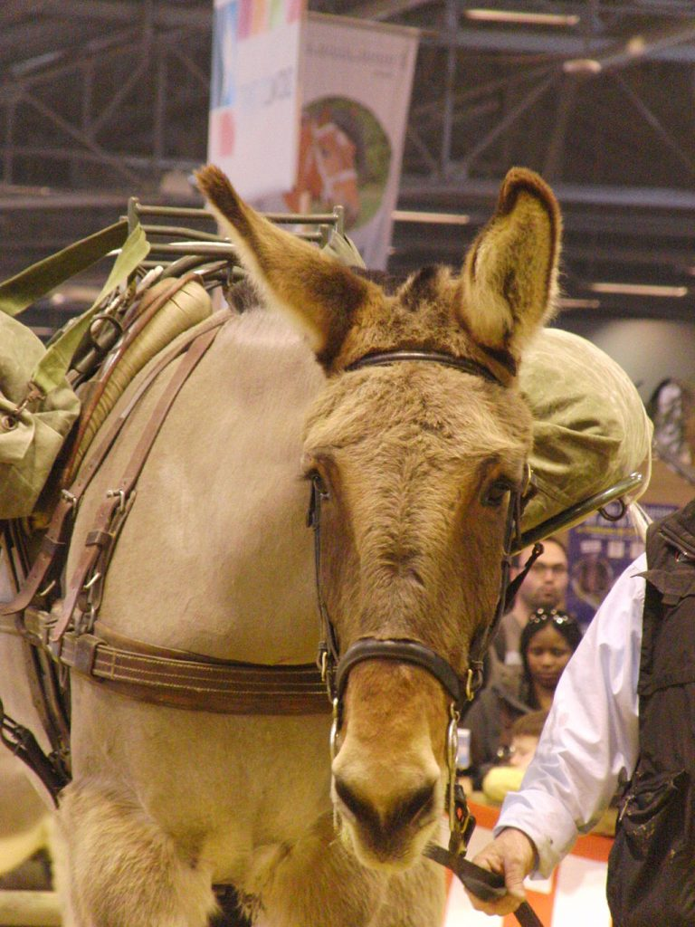 Closeup of the face of a Poitou Mule.