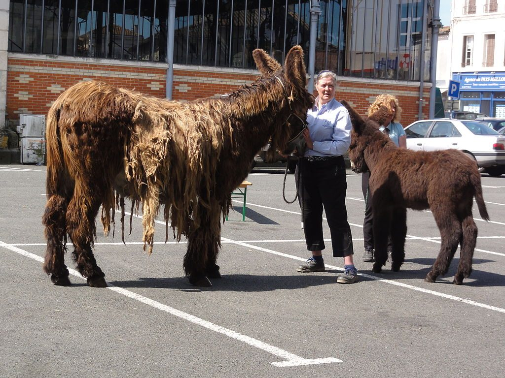 A shaggy mother poitou donkey, and her baby in a parking lot at a show.