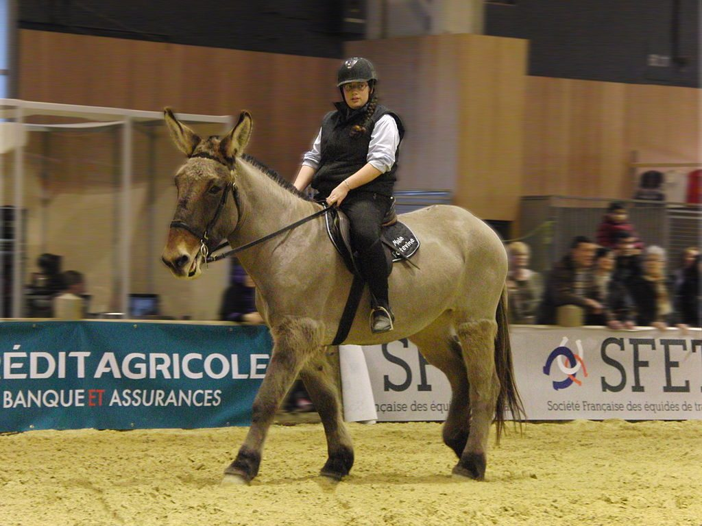 A Poitou mule under saddle at a show.