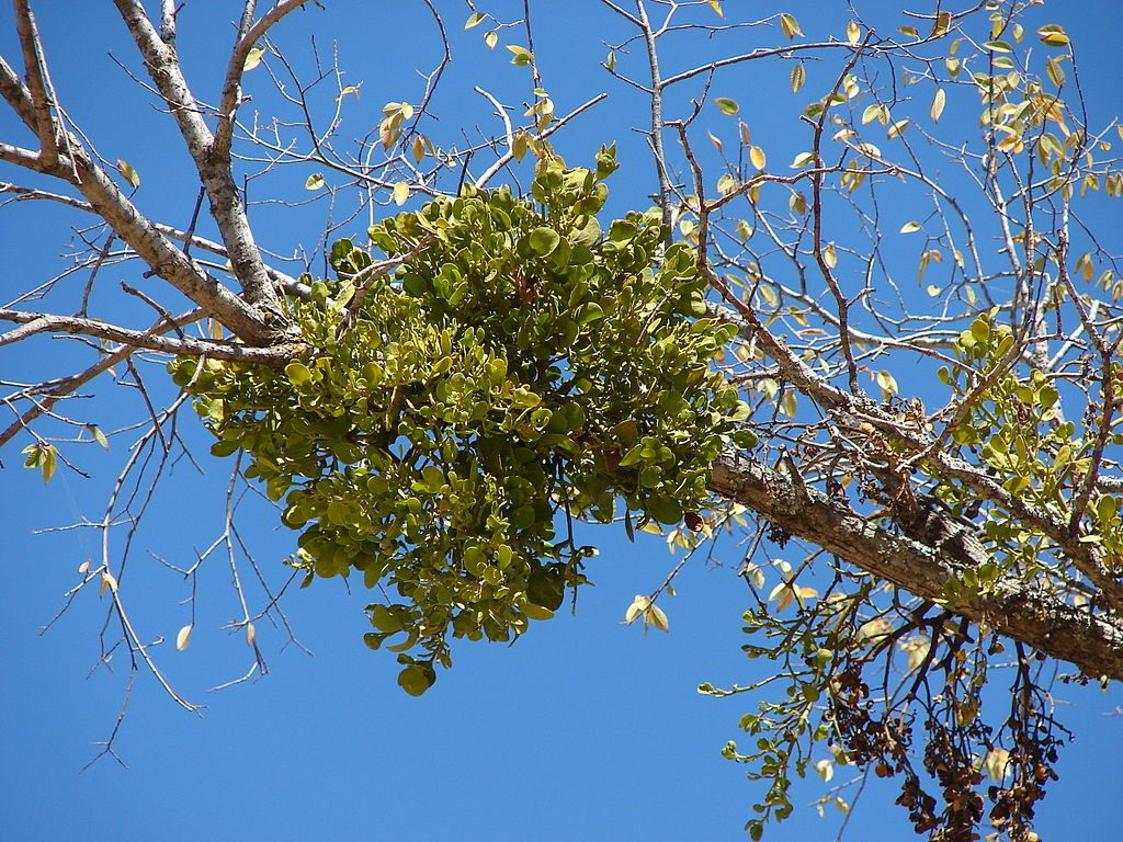mistletoe on a branch, chillin' like a villain.