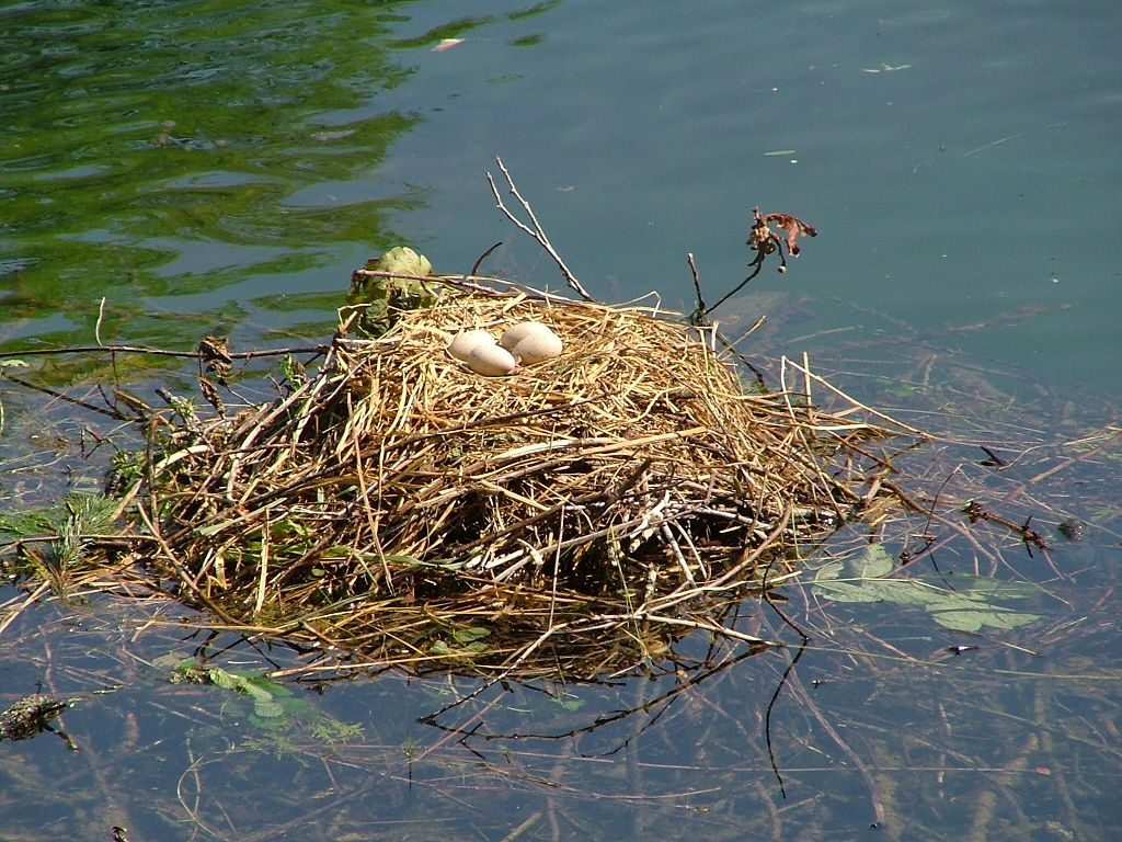 Mute Swan eggs in a nest on water.