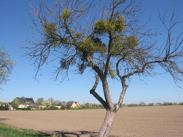 Green, bushy mistletoe in a bare tree.