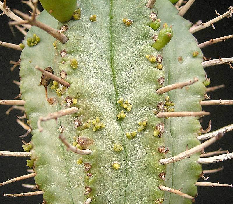 Tiny Visicum minimum plant growths, barely noticeable on the surface of a succulent, like plant acne. Plantcne?