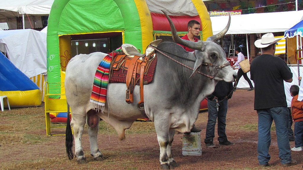 zebu bull at a mexican fair. With bouncy castle in the background. he's got a saddle on.