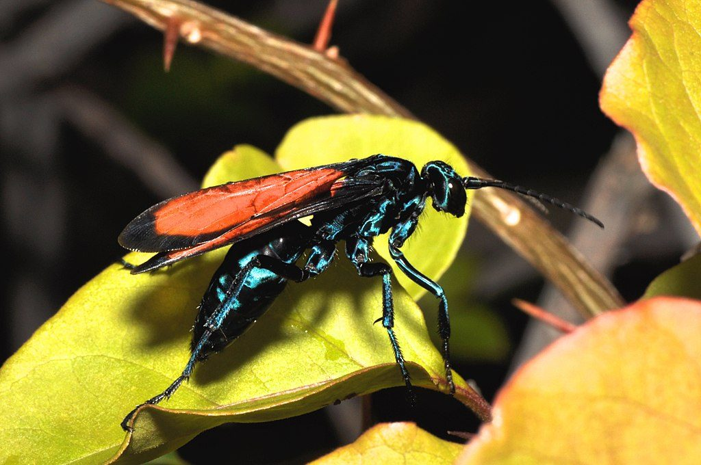 A glossy midnight blue wasp with rust colored wings on a yellow flower.