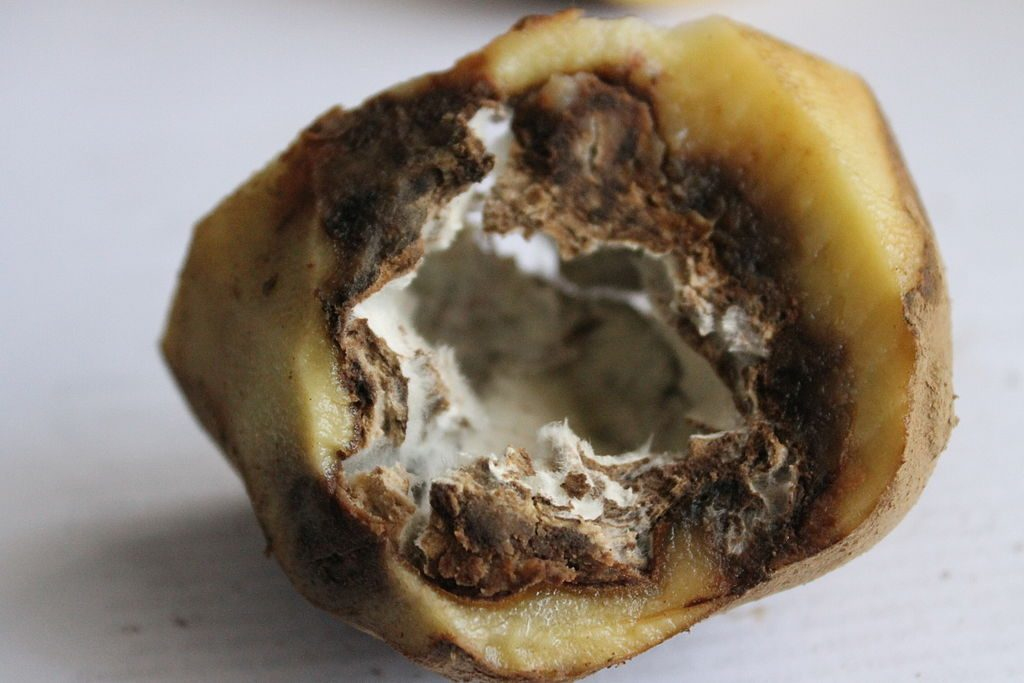 A very bad potato, rotten on the inside, thanks to potato late blight.