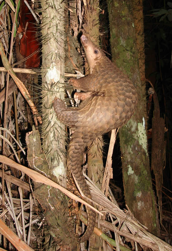 The Sunda pangolin, looking derpily smug.