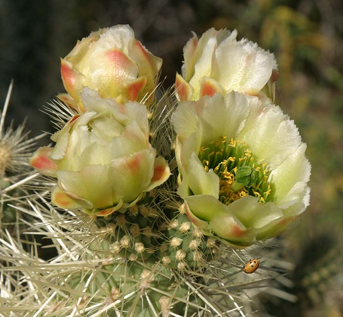 cup-shaped teddy bear cholla blooms.