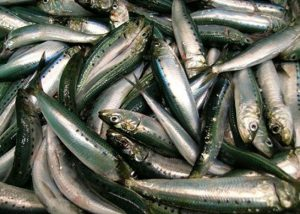 A pile of sardines.