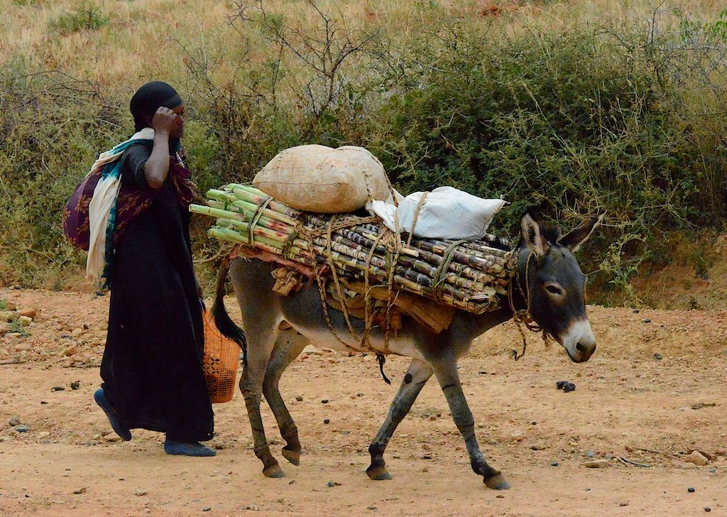 A woman walking next to a donkey, which stands maybe chest high at the shoulder.