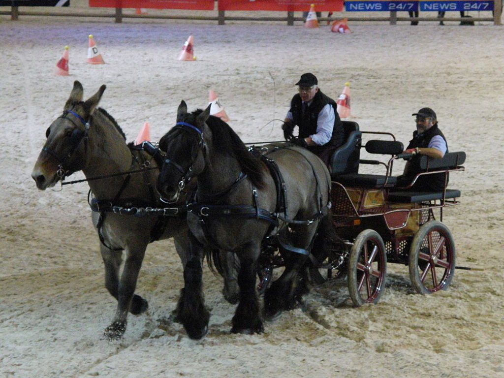 A pair of Poitou mules pulling a cart.
