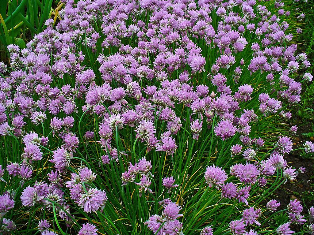 Purple pom pom chive flowers.