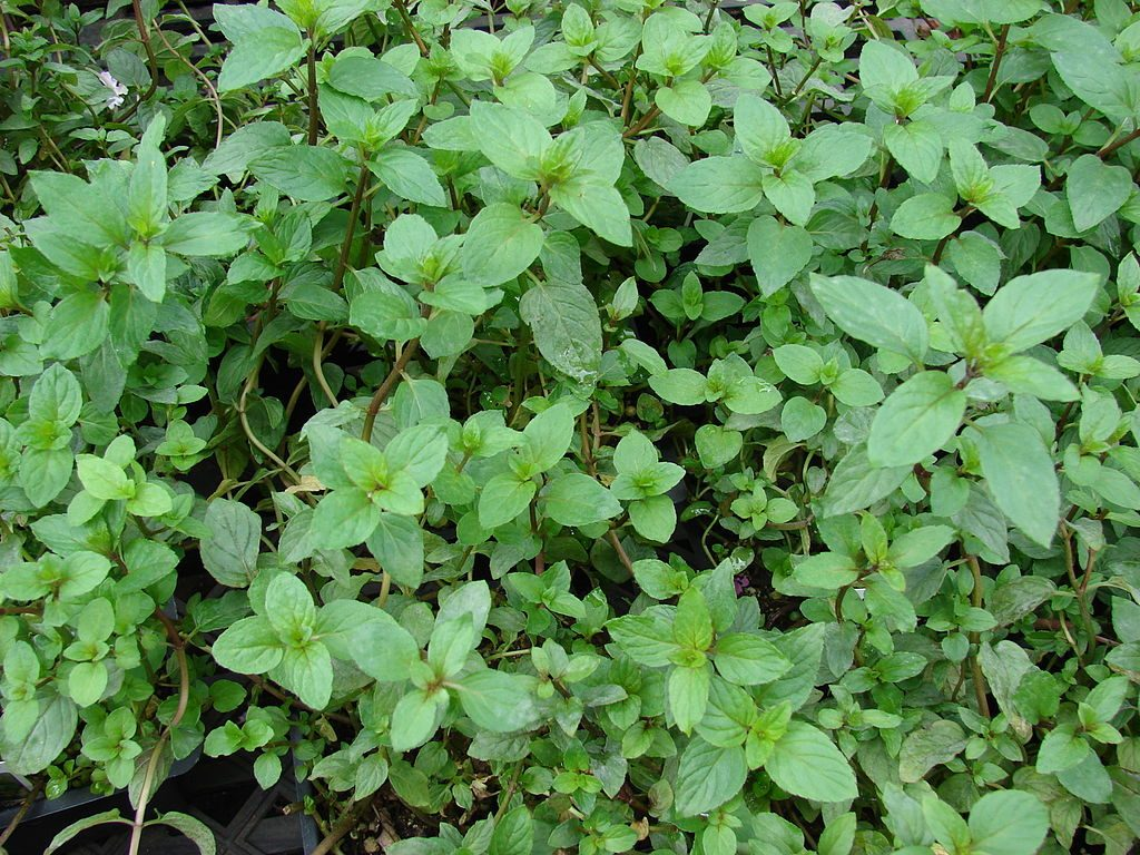 Leafy peppermint growing on the ground.