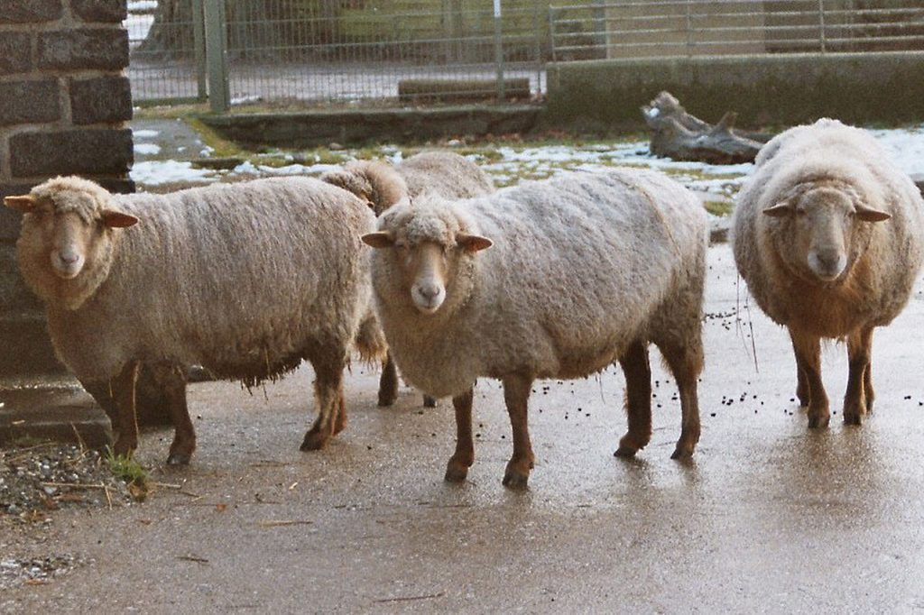 A small flock of sheep on a rainy day.
