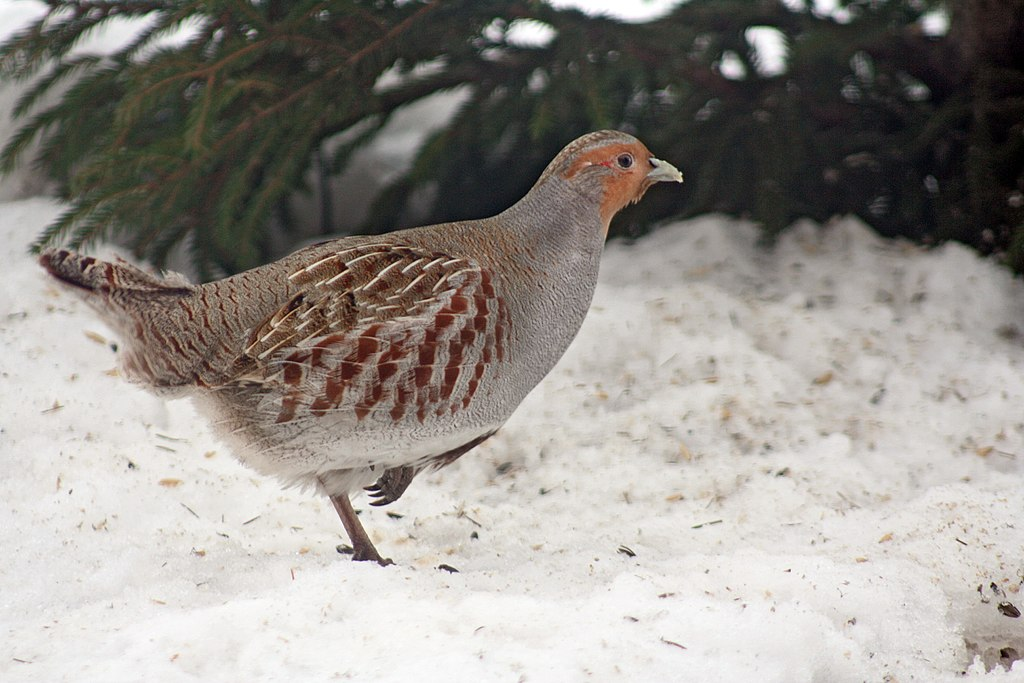 Gray partridge in snow.