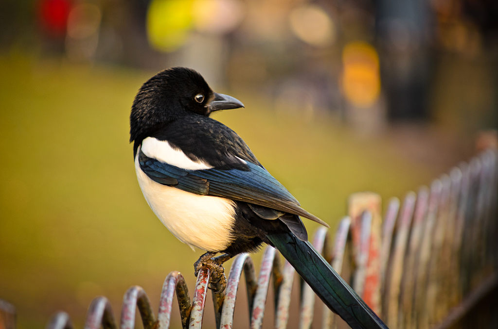 Eurasian magpie on a fence