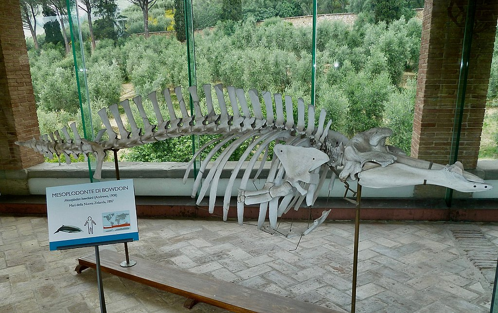 A skeleton of an Andrews' Beaked Whale, mounted in a museum.