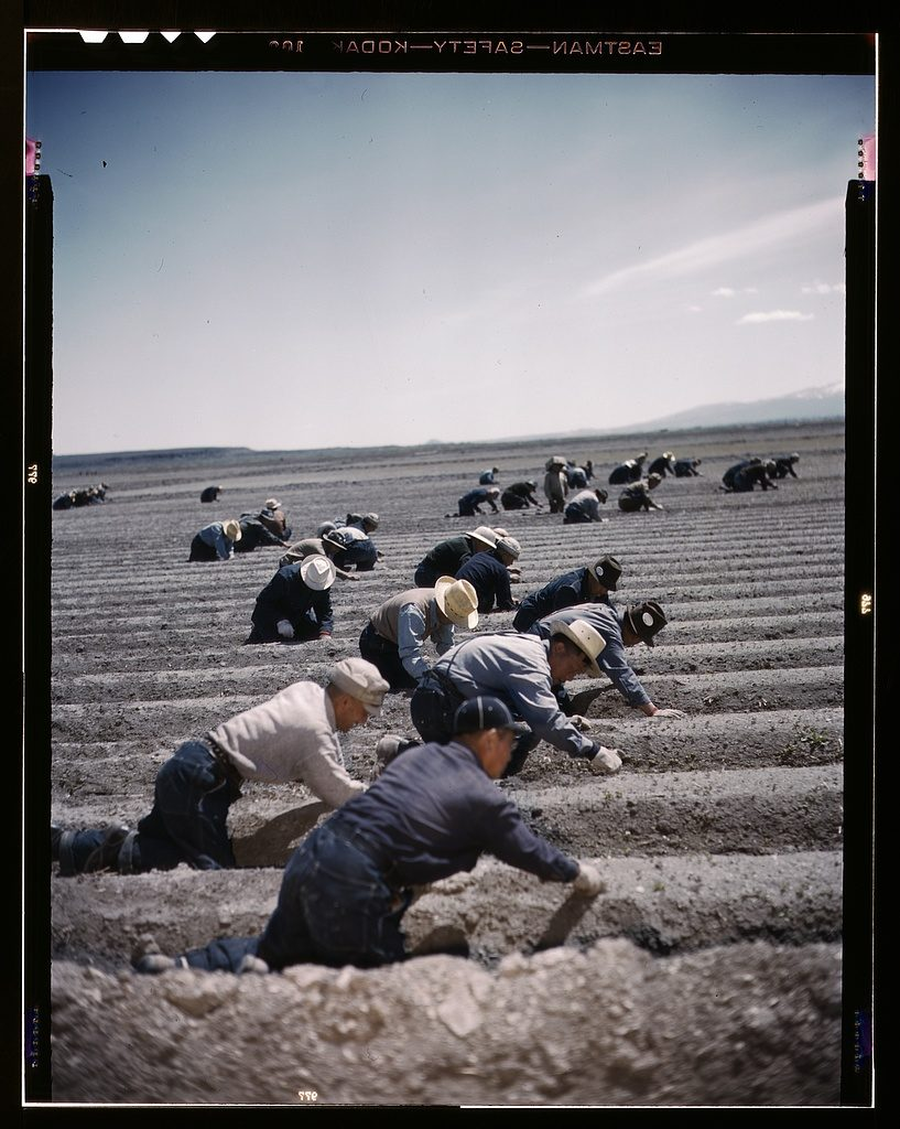 Japanese-Americans used as farm labor, 1942. It looks really hot too.